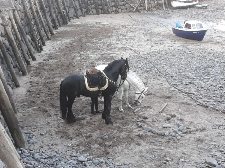 horse visitors to Clovelly harbour